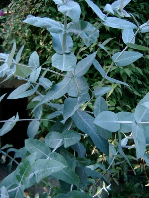 EukalyptusBlueGum