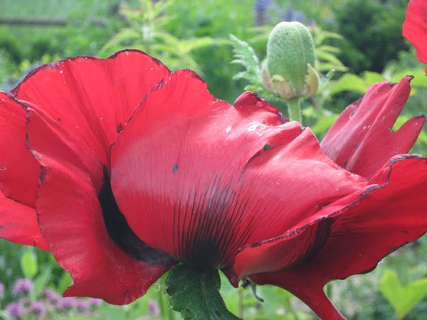 Papaver orientale 'Beauty of Livermere' (Roter Orientalischer Mohn)