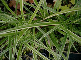 Carex morrowii 'Ice Dance' (Weißgestreifte Japan-Segge)