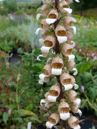 Digitalis ferruginea 'Gigantea' (Rostroter Fingerhut)