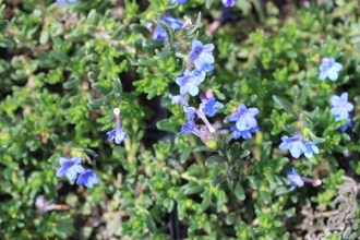 Lithodora diffusa 'Heavenly Blue' (Garten-Steinsame)