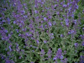 Nepeta x faassenii 'Walkers Low' (Katzenminze)
