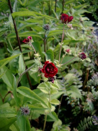 Potentilla atrosanguinea 'Fireball Mixed' (Fingerkraut)