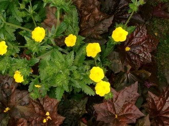 Potentilla recta (Hohes Fingerkraut)
