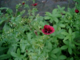 Potentilla thurberi  'Monarch's Velvet' (Samt-Fingerkraut)