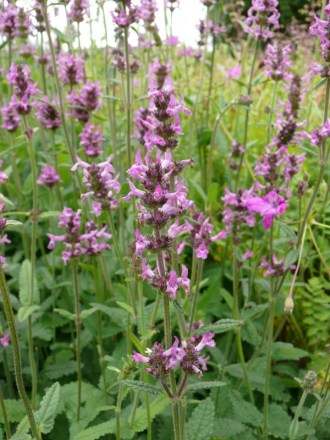 Stachys officinalis (Heilziest)