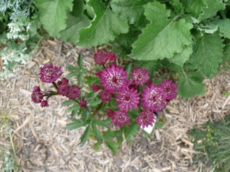 Astrantia major 'Ruby Wedding' (Rote Sterndolde)