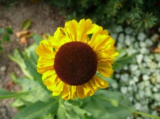 Helenium bigelovii 'The Bishop' (Sonnenbraut)