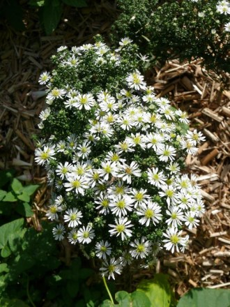 Aster pansos 'Snowflurry' (Teppich-Aster)