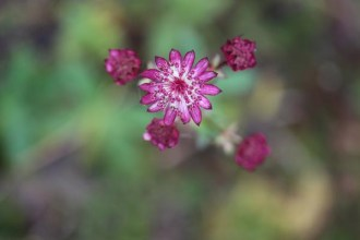 Astrantia Major-Hybr. 'Ruby Cloud' (Sterndolde)