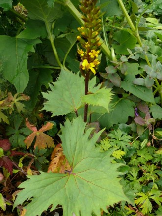 Ligularia Hybride 'The Rocket' (Strauß-Goldkolben)