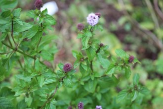Mentha species 'Basilmint' (Basilikumminze)