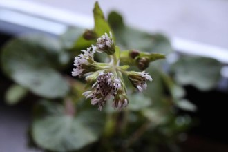 Petasites fragrans (Winter-Heliotrop)