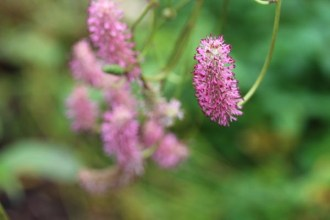 Sanguisorba officinalis 'Blackthorn' (Garten-Wiesenknopf)