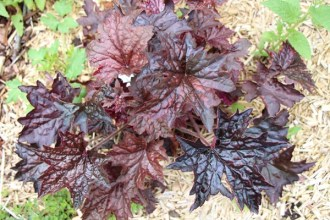 Heuchera micrantha 'Molly Bush' (Purpurglöckchen)