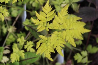 Anthriscus sylvestris 'Golden Fleece' (Gelbblättriger Wiesenkerbel)